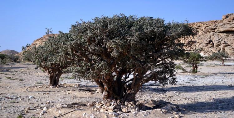 Weihrauch Baum